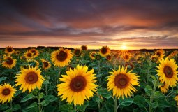 nature-photography-fields-sunflowers-yellow-flowers