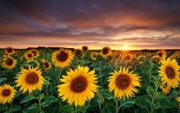 nature-photography-fields-sunflowers-yellow-flowers